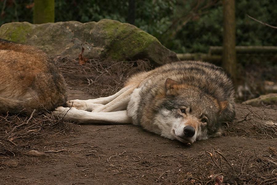 Wolf 1 - Werner Freund Wolfspark